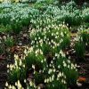 Snowdrops in Dorset